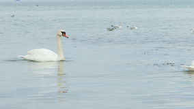 Swans swimming on water Stock Photo