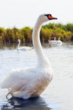 Swans Stock Image