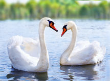 Swans. Swimming on the water in nature stock image