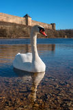 Swans swimming on the water in nature. Stock Photos