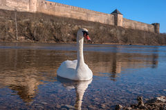 Swans swimming on the water in nature. Royalty Free Stock Photography