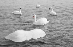 Swans swimming in winter lake with ice Stock Photo