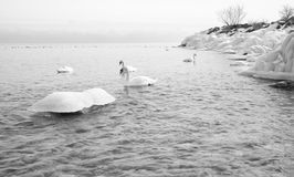 Swans swimming in winter lake with ice Royalty Free Stock Photo