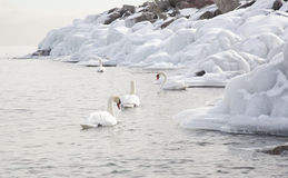 Swans swimming in winter lake with ice Stock Photos