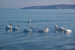 Swans swimming in the winter sea. Royalty Free Stock Photography