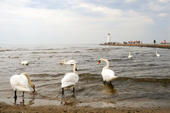 Swans in Swinoujscie Royalty Free Stock Image