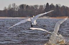 Swans take off Royalty Free Stock Photos