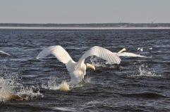 Swans take off Royalty Free Stock Photo