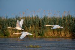 Swans take off and flying over water in the Danube Delta. Wildlife birds and birdwatching photography and a common sighting for tourists in the Danube Delta royalty free stock photography