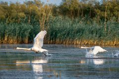 Swans take off and flying over water in the Danube Delta. Wildlife birds and birdwatching photography and a common sighting for tourists in the Danube Delta stock image