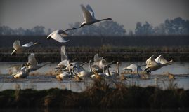 Swans Taking Off Stock Photography