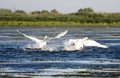 Swans Taking Off Royalty Free Stock Photo