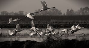 Swans Taking Off Sepia Stock Photo