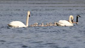 Swans Teamwork Royalty Free Stock Photography