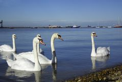 Swans on the Thames Royalty Free Stock Photography