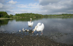 Swans With Their Baby Cygnets Royalty Free Stock Photos