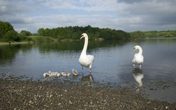 Swans With Their Baby Cygnets Royalty Free Stock Photography