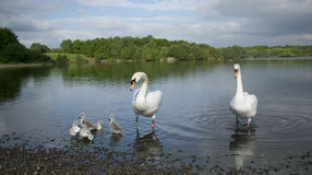 Swans With Their Baby Cygnets Royalty Free Stock Photo