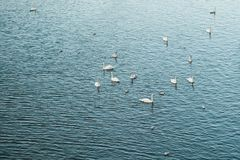 Swans and their brood float on river Royalty Free Stock Photos