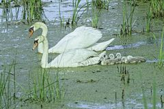 Swans With Their Cygnets In The Marsh royalty free stock image