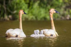Swans with their cygnets. A pair of swans on the river with 4 cygnets stock images
