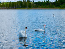 Swans. Three Swans in the river. River is in the forest Royalty Free Stock Photo