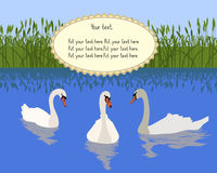 Swans. Three swans swimming in the lake Royalty Free Stock Photos