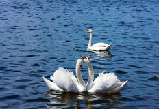 Swans in a threesome. Three swans against blue water background. Happy couple and jealous one Stock Image