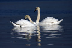 Swans together Stock Photo