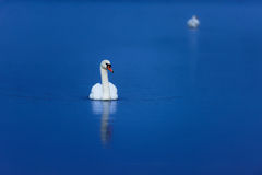 Swans On Tranquil Blue Water Royalty Free Stock Photo