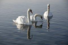 swans tre Fotografering för Bildbyråer