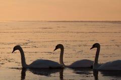 swans tre Arkivfoton