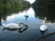 swans tre Royaltyfri Fotografi