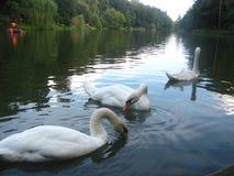 swans tre Arkivbild