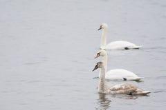 swans tre Arkivfoto