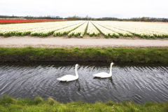 Swans and tulip fields Royalty Free Stock Images