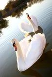 swans två Arkivfoton