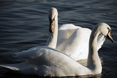 swans två Arkivbilder