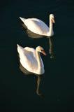 swans två Royaltyfria Bilder