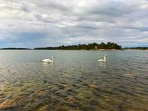 swans två Royaltyfri Fotografi