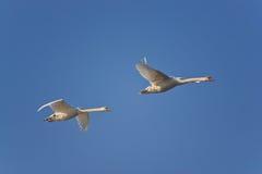 swans två Arkivfoto