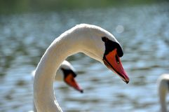 Swans. Two backlit swans heads on river Saone in France stock photography
