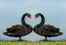 Swans. Royalty Free Stock Image