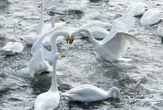 Swans. Two swans in the fierce battle at a lake on a clear day stock image