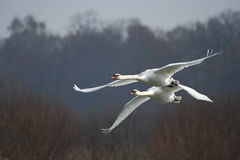 Two flying swans. Two swans flying over the river. Rainly day Stock Images