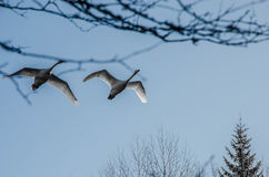 Swans. Two swans flying by, above river in Finland Stock Photo