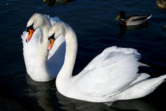 Swans. Two friends white swans on blue sea Stock Images