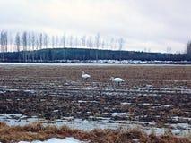 Swans stock photos
