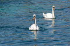 The swans Royalty Free Stock Image