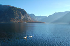 Swans. Two Swans in Hallstatt Lake Royalty Free Stock Image